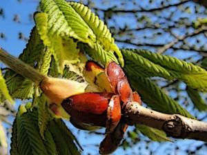 Chestnut Bud 2